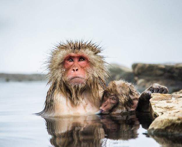 ママと赤ちゃんのニホンザルは温泉で水に座っています