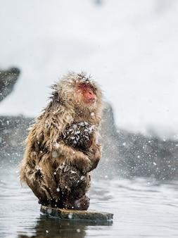 ママと赤ちゃんニホンザルは温泉の水の中の石の上に座っています