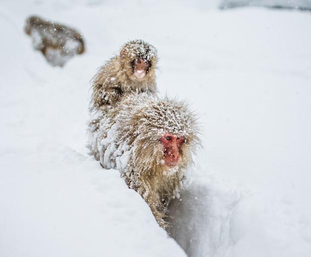 赤ちゃんを背負ったママニホンザルが大雪の中温泉に行く