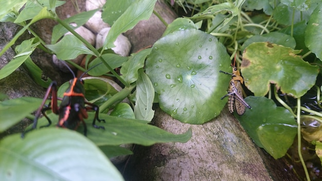 Mom and son grasshoppers in the fishpond