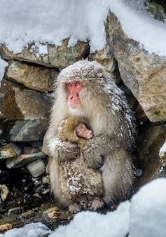 ニホンザルの赤ちゃんを持つお母さんが石の近くに座っています