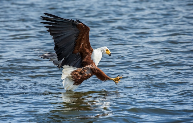 Moment of the african fish eagle's attack on the fish in the water.
