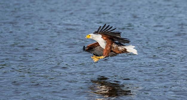 Момент нападения африканского рыбного орла на рыбу в воде.