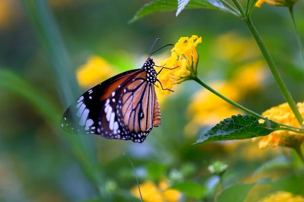 晴れた夏の朝に明るい黄色のヒマワリにモナークバタフライダナウスプレキシプス