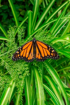 Monarch butterfly (danaus plexippus), with open wings, on a green leaf