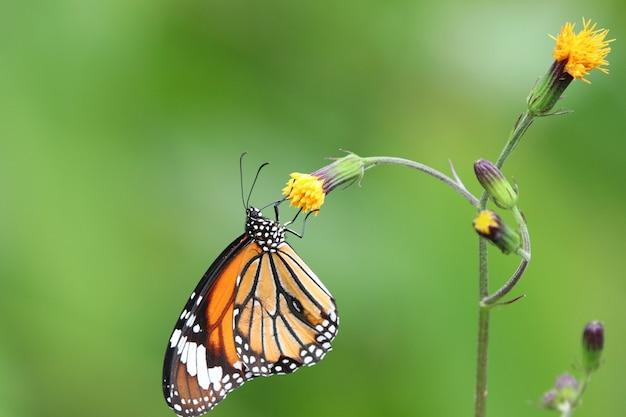 Монарх бабочка кормления нектар из крошечных цветов яркий и свежесть в природе фон