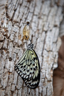 Monarch butterfly hanging from the chrysalis that he hatched from on a variegated white
