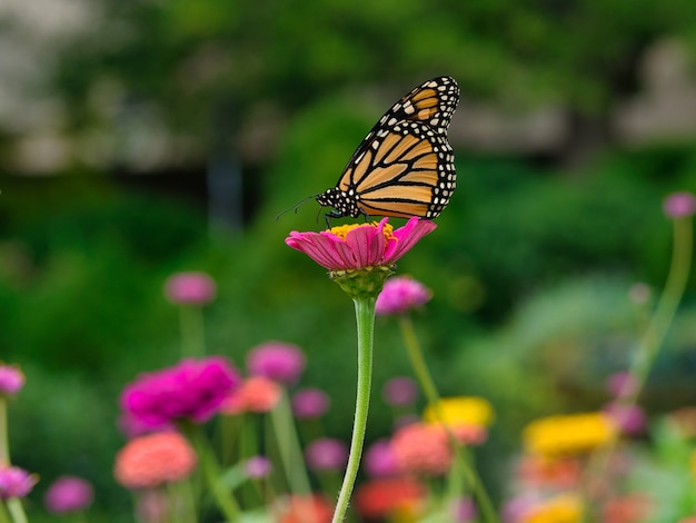 Monarch butterfly on a pink flower in a garden surrounded by greenery