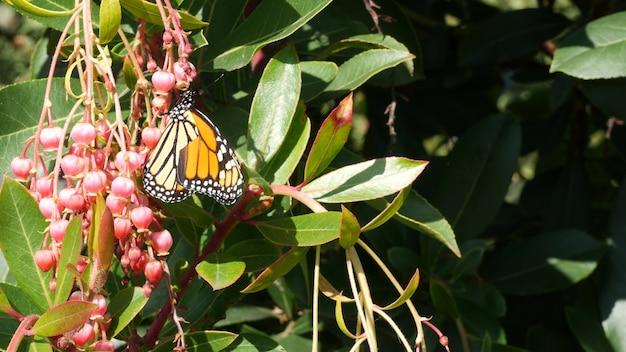 Бабочка монарх опыляет цветок земляника калифорния сша розовый цветок мадроне романтическая ботаническая атмосфера нежное экзотическое цветение весна пастельные тона весна утренняя свежесть в саду