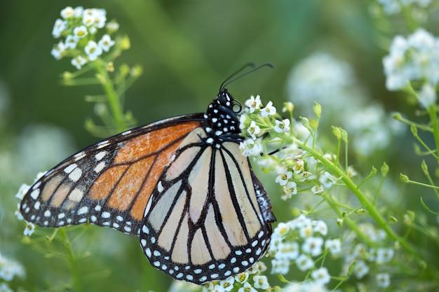 흰색 달콤한 alyssum 꽃과 바둑의 나비