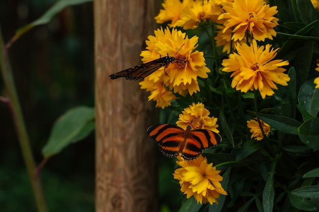 Monarch butterflys possed on a yellow garden flowers