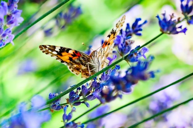 군주, danaus plexippus, 자연 서식지의 나비