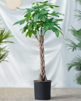 흰색 배경으로 돈 나무 식물