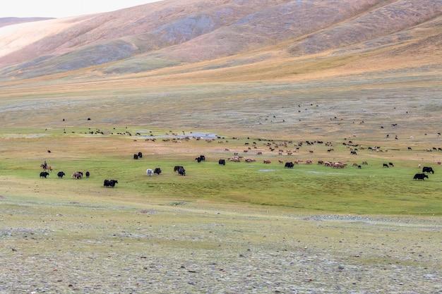 Монгольский алтай. кочевник гонит стадо на пастбище. живописная долина на фоне гор.