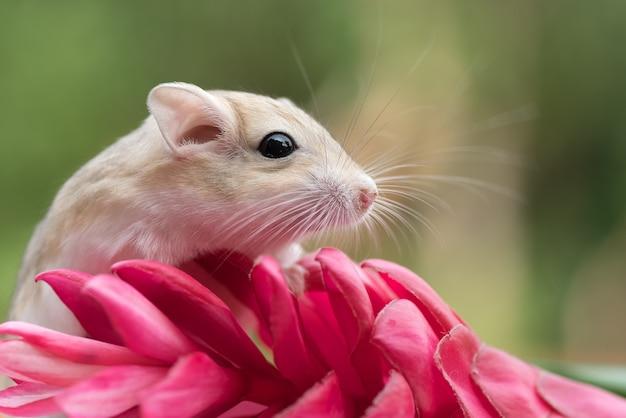 Mongolian gerbil playing on red flower, pet gerbil