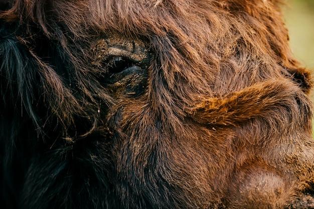 モンゴルのヤクのクローズアップの肖像画