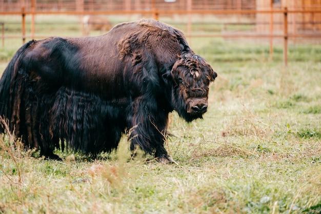 動物園のモンゴルヤク