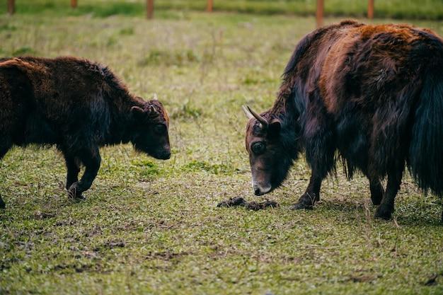 モンゴルのヤクはarフィールドを放牧します。