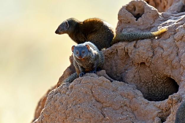 Мангуст в среде обитания дикой природы африканской саванны