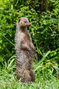 マングースはセレンゲティ国立公園の芝生で後ろ足で立っています。アフリカ。タンザニア。セレンゲティ国立公園。