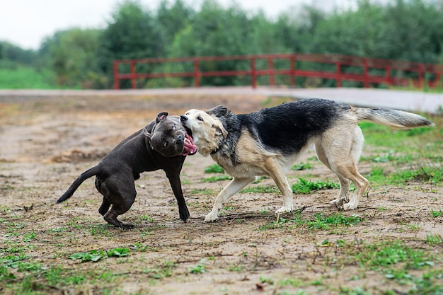 Беспородная собака кусает лапу американского стаффордширского терьера и бежит в парке, глядя в сторону