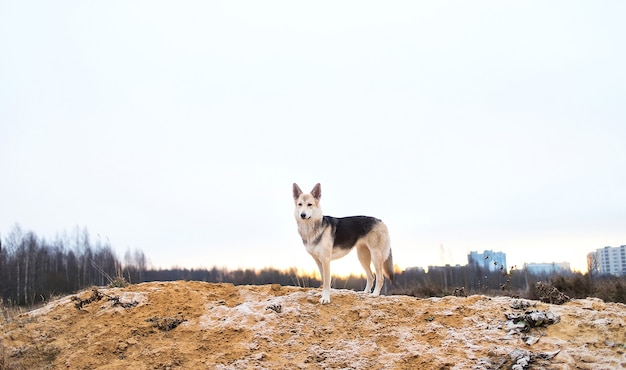 Mongrel dog standing on sandy ground at meadow