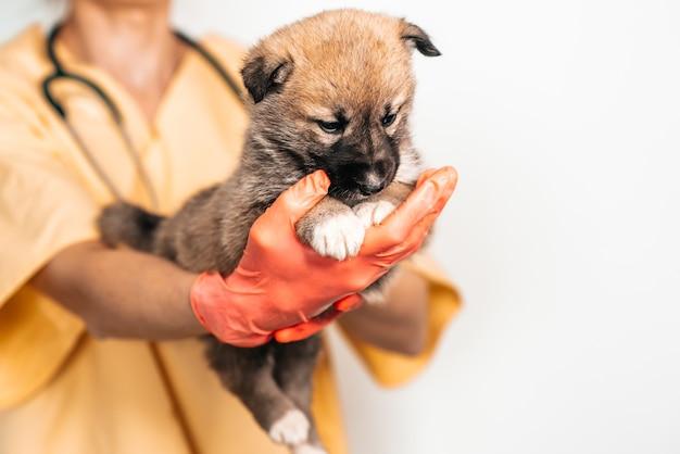 獣医クリニックの獣医で雑種の子犬。ペット、女医の腕の中で面白い小さな犬の検査