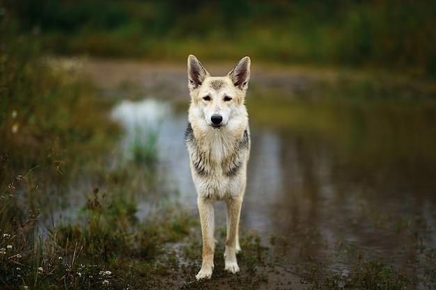 水たまりから雑種の野良犬の飲料水