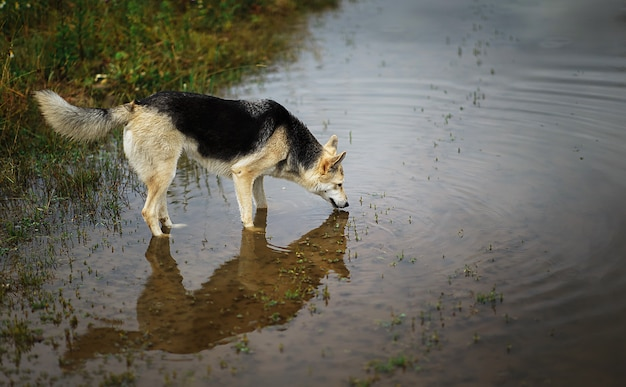 水たまりから雑種野良犬の飲料水