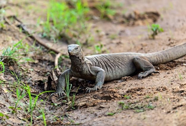 スリランカの島で野生のトカゲを監視する