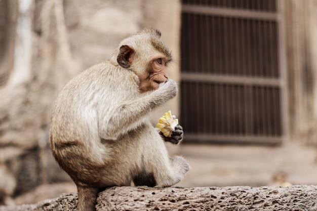 猿は動物園のレンガで食べ物を食べています。