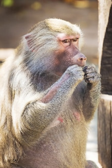 Обезьяна бабуин гамадрил во время еды в солнечную погоду_