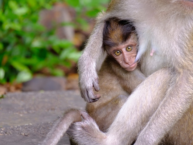 Monkey baby being breast-fed and look forward show the love ties