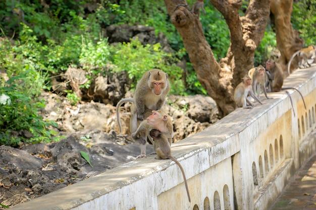 Monkey breeding