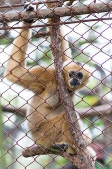 원숭이, 갈색 긴팔 원숭이 또는 lar gibbon in dusit zoo, thailand.