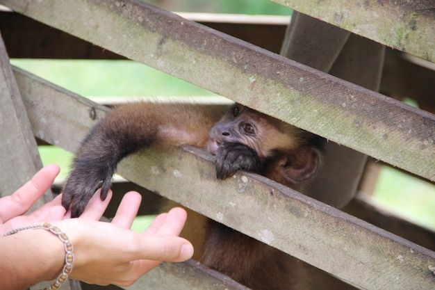 A monkey in a cage touching the hand of a girl in the jungle of puerto maldonado. peru