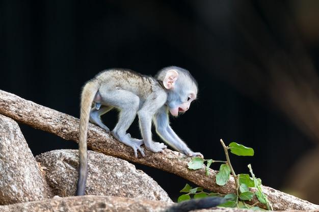 A monkey climbs around on a branch