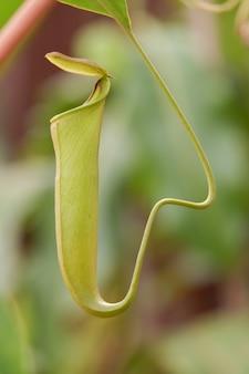 Чашечка обезьян или плотоядное растение