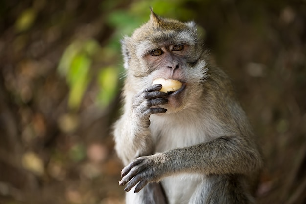 Monkey eating banana