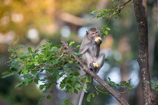 A monkey eating corn on a branch