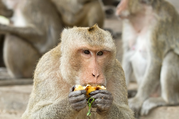 Monkey eating fruit in forest park