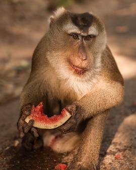 猿はジューシーなスイカを食べる