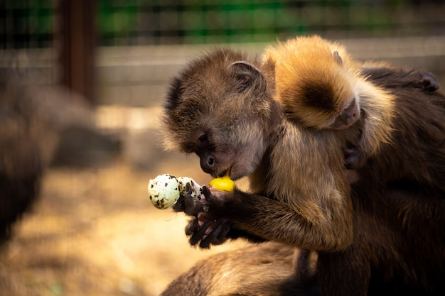Monkey eats an egg