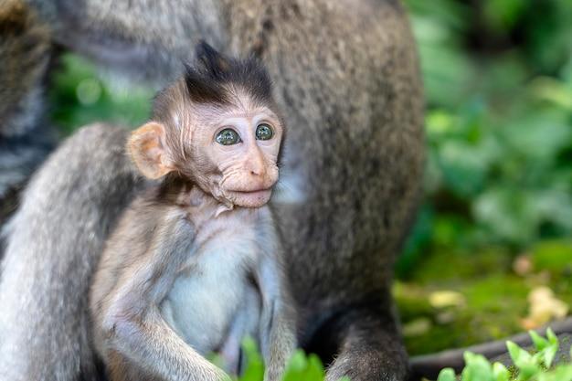 Семья обезьян в священном лесу обезьян в убуде, остров бали, индонезия. закрыть вверх обезьяна детеныш обезьяны