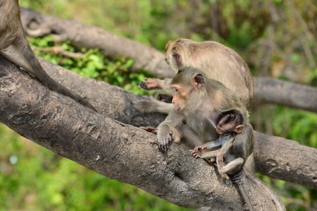 Monkey family eat the food that people bring.