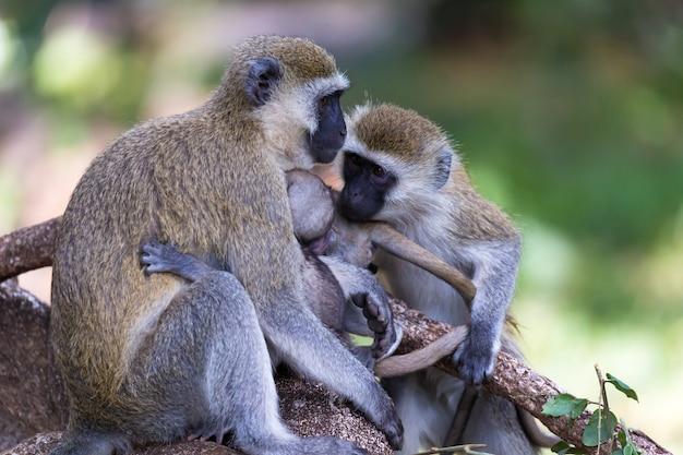 猿の家族が小さな赤ちゃんに餌をやる