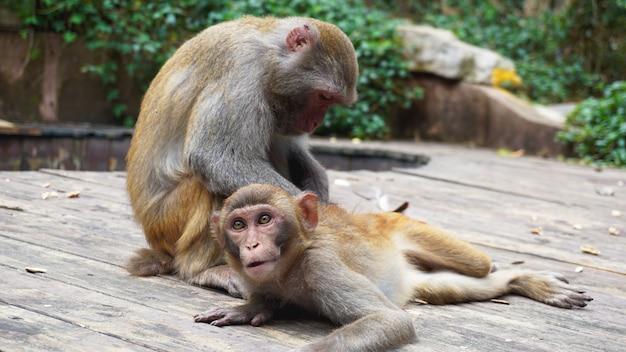 サルの家族、赤ちゃんの世話をする母親