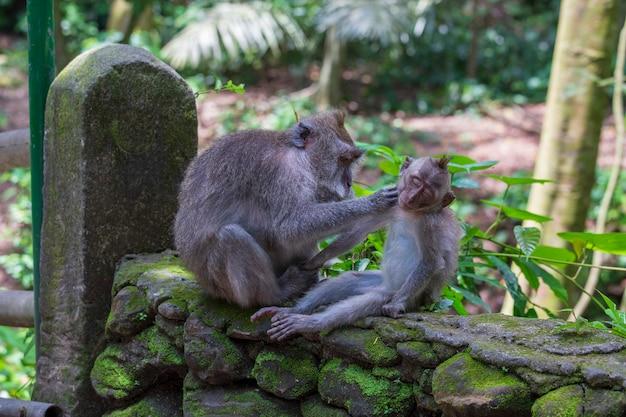 Monkey family at sacred monkey forest in ubud, island bali, indonesia, close up