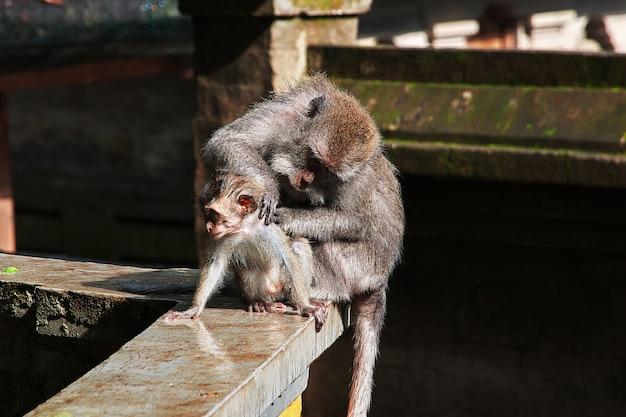 Monkey forest, bali zoo, indonesia