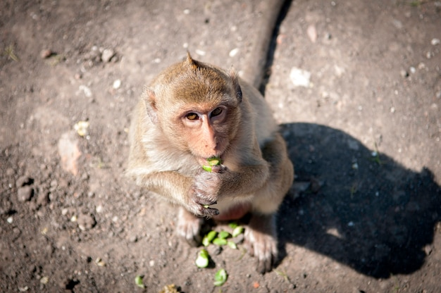 Monkey in front of temple in lopburi